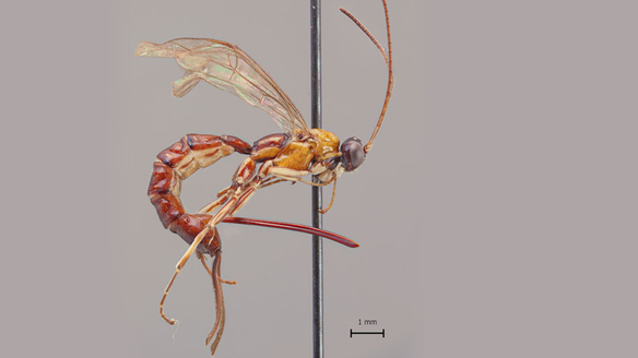 New Giant Wasp Species Discovered in South America