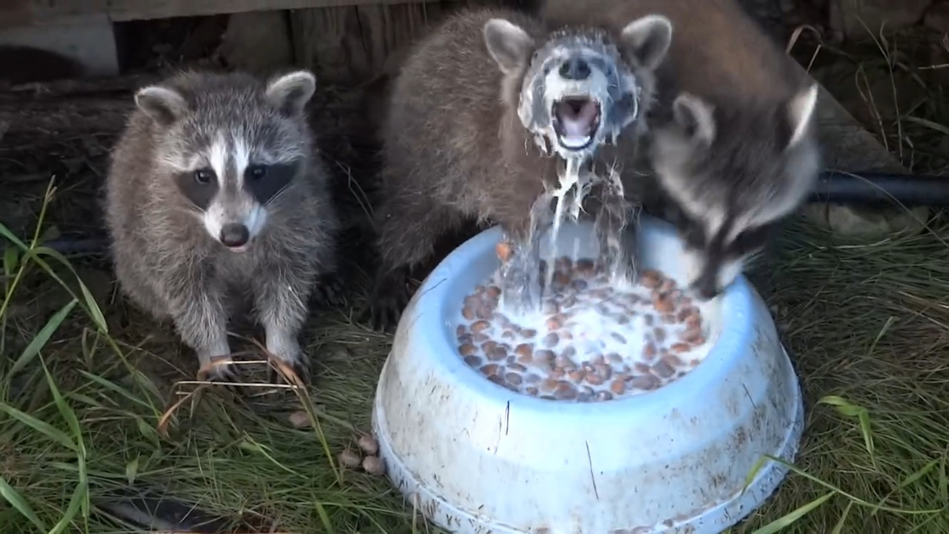 rated red raccoon would rather eat than breathe